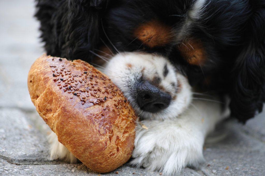 hond eet brood